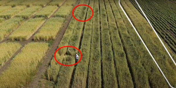 Полягане на пшеницата