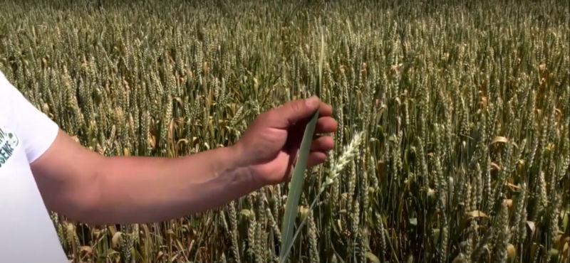 Пшеница Садово флагов лист