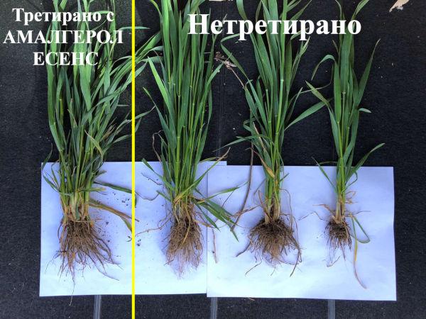 Пшеница корени